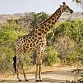 Giraffe Grazing by Stephen Stookey