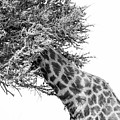 Giraffe Hide And Seek by Tom Broadhurst