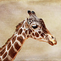 Giraffe Portrait With Texture by Judy Vincent