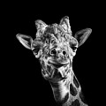 Giraffe In Black And White by Malcolm MacGregor