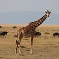 Giraffe In The Serengeti by Michael Paskvan