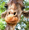 Giraffe Interest by Jodie Nash