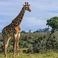Giraffe by Jennifer Ludlum