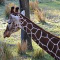 Giraffe by Jost Houk