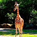 Giraffe by Lisa Wooten