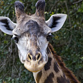 Giraffe Looking At You by Roger Wedegis