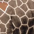 Giraffe Love by September  Stone