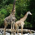 Giraffe, Male And Female by Captain Debbie Ritter