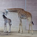 Giraffe Mother Baby Sd Zoo 1015 3 by Phyllis Spoor