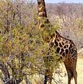 Giraffe by Noa Yerushalmi