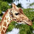 Giraffe Portrait by Judy Vincent