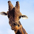 Giraffe Portrait by Rosalie Scanlon