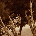 Giraffe Sepia by Douglas Barnard
