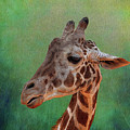 Giraffe Square Painted by Judy Vincent