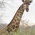 Giraffe by Stephen Stookey