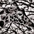 Giraffe by Steven Parker
