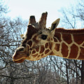 Giraffe Stretching For A View by Ronald Reid