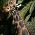 Giraffe Study 2 by Roger Mullenhour