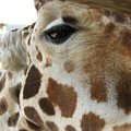 Giraffe Up Close by Rebecca Pavelka