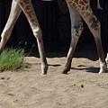 Giraffe by Victor Filinkov