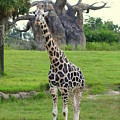 Giraffe With African Baobob Tree by Anita Hiltz
