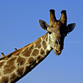 Giraffe With Oxpeckers by Tony Murtagh