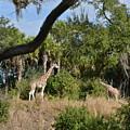 Giraffes by Carol  Bradley