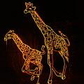 Giraffes Light Show  by Jeff Swan