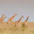 Giraffes by Mary Fletcher