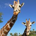 Giraffes by Steven Sparks