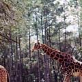 Giraffesgalore by Delbert Larkin