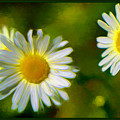 Give Me Daisy In Color by Debra Lynch