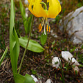 Glacier Lily 1 by Ron Glaser