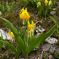 Glacier Lily 3 by Ron Glaser