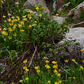 Glacier Lily 4 by Ron Glaser