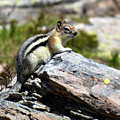 Glacier Mountain Chipmunk by Hughes Country Roads Photography