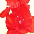 Gladiola Stem by Cathie Tyler