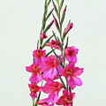 Gladioli Byzantinus In Love by Terri Waters