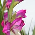 Gladiolus by Linda Covino