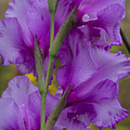 Gladiolus Rear View by Robert Potts