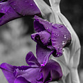 Gladiolus_selective Color by Keith Smith