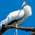 Glamorous Wood Stork by Kenneth Albin
