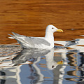 Glaucous-winged Gull by Marv Vandehey