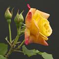 Glenn's Rose by Michael Peychich