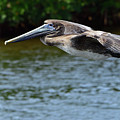 Gliding Pelican by Mark Madion