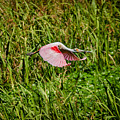 Gliding Spoonbill In Bayou by Robert Frederick