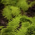 Glimmering Ferns by Irwin Barrett