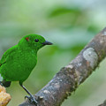 Glistening Green Tanager by Cascade Colors