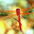 Glistening Red Dragonfly by Cynthia Guinn