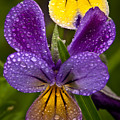 Glittered Wild Pansies by Irwin Barrett